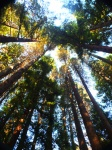 Hoyt Redwoods